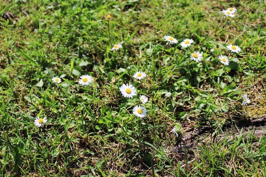 daisy_meadow