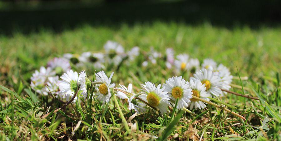 daisy_wreath