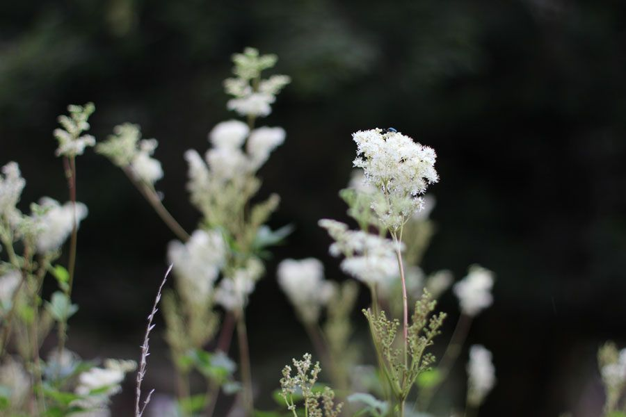 Meadowsweet-flowers