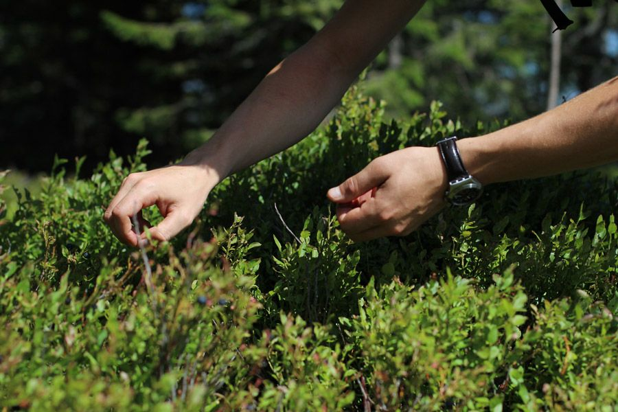mariensee-picking-wild-blueberries