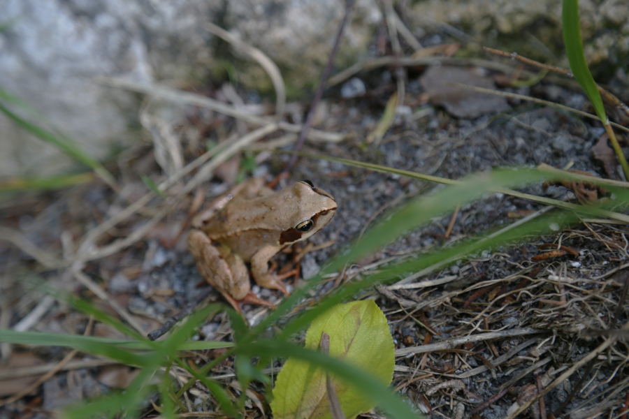 A wild frog